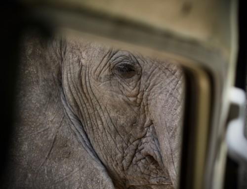 Elefantes: Tan grandes, tan inteligentes, tan sensibles